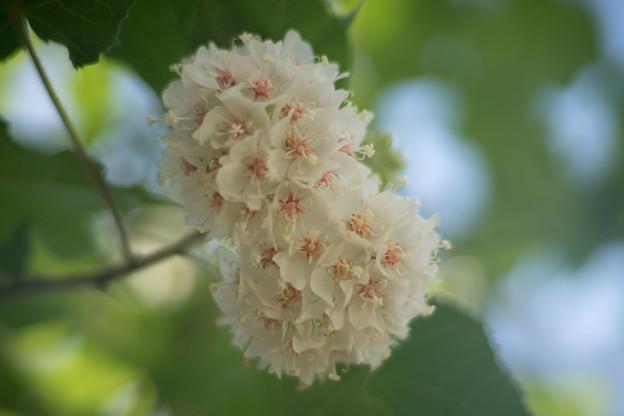 大船フラワーセンター【温室の花:ドンベア】2