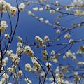 熱海梅園【八重野梅】2