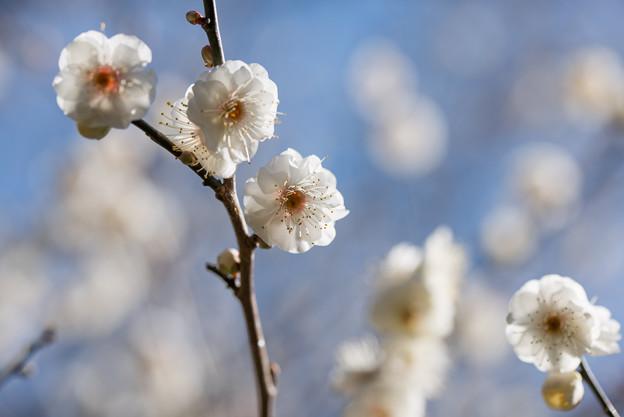 熱海梅園【八重野梅】6
