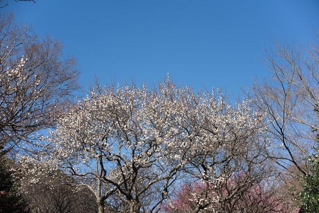 熱海梅園【冬至梅】1