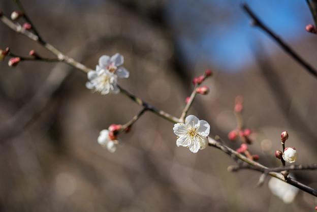 熱海梅園【冬至梅】4