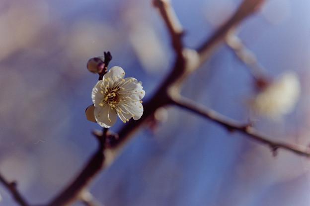 熱海梅園【冬至梅】5