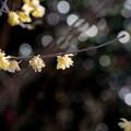 熱海梅園【蝋梅】2