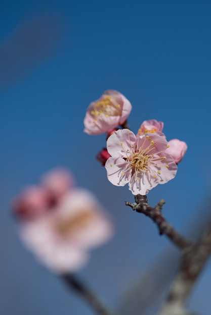 小田原FG【梅:紅冬至】8