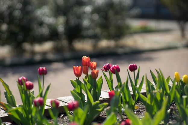 花菜ガーデン【チャペックの家と庭に咲くチューリップ】1