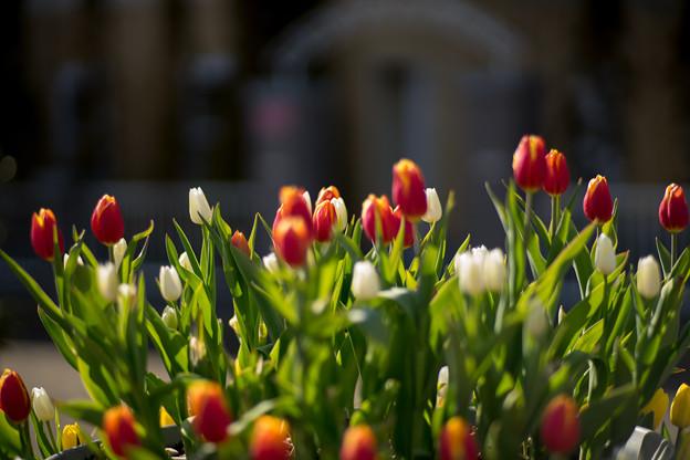 花菜ガーデン【チャペックの家と庭に咲くチューリップ】3
