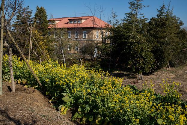 花菜ガーデン【チャペックの家の裏側に咲く菜の花】1