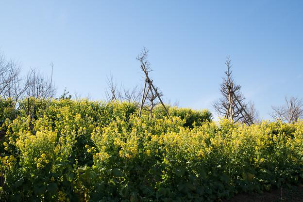 花菜ガーデン【チャペックの家の裏側に咲く菜の花】3