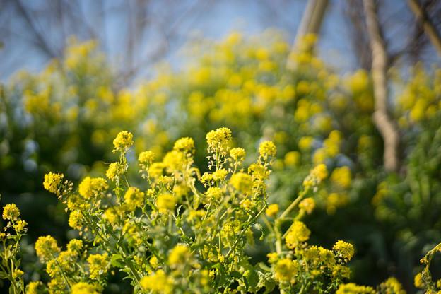 花菜ガーデン【チャペックの家の裏側に咲く菜の花】5