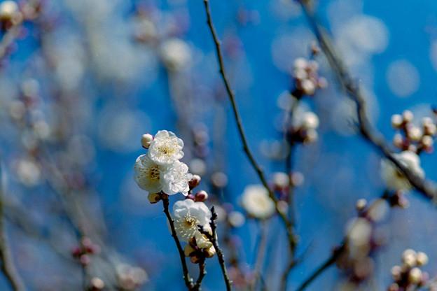 神代植物公園【梅:白難波】5銀塩