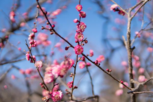 神代植物公園【梅:八重寒紅】1