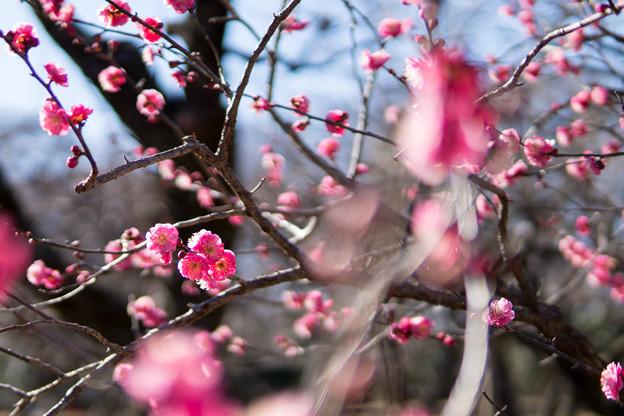 神代植物公園【梅:八重寒紅】2