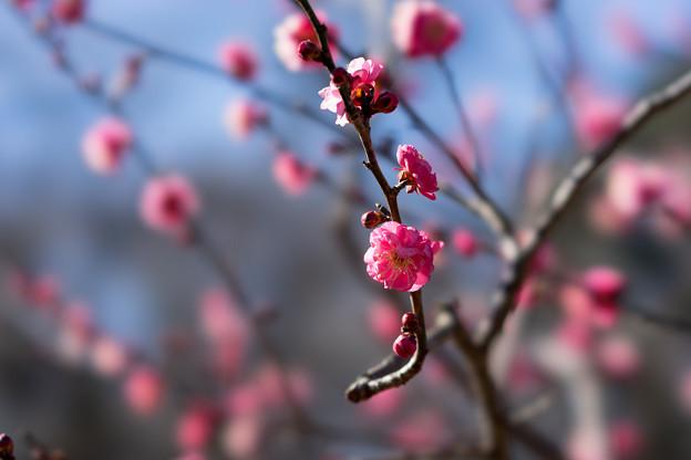 神代植物公園【梅:八重寒紅】3