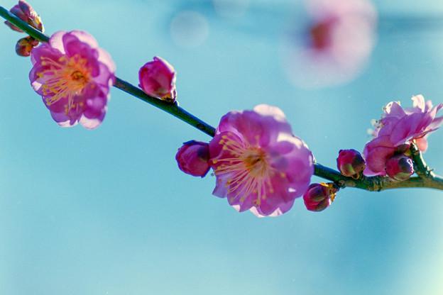 神代植物公園【梅:八重寒紅】4銀塩