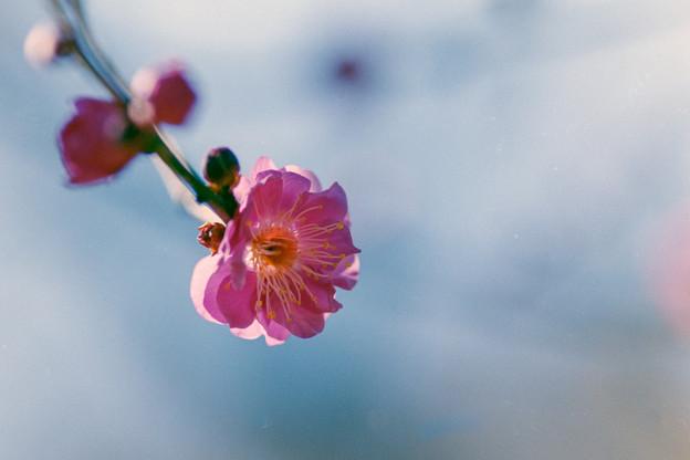 神代植物公園【梅:八重寒紅】5銀塩