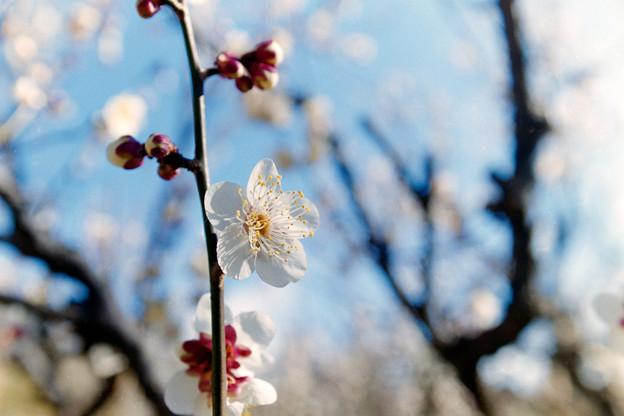 神代植物公園【梅:冬至】4銀塩
