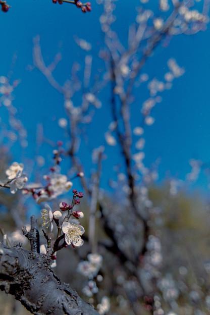 神代植物公園【梅:冬至】7銀塩