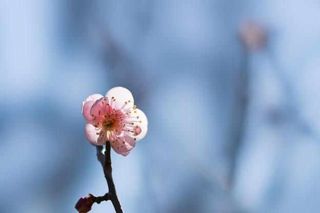 神代植物公園【梅:森の関】1