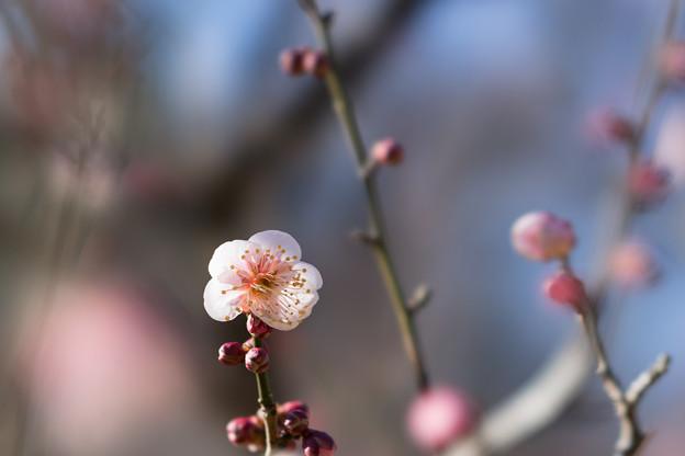 神代植物公園【梅:森の関】2