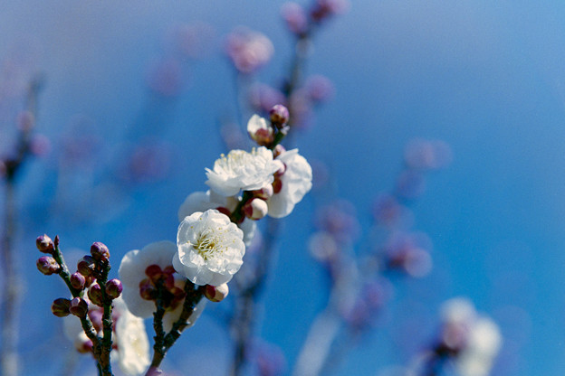府中市郷土の森博物館【梅:白牡丹】2銀塩
