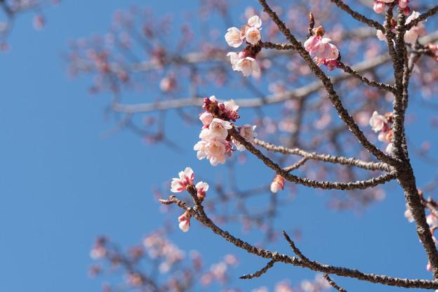 皇居東御苑【寒桜】1
