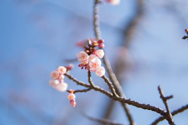 皇居東御苑【寒桜】2
