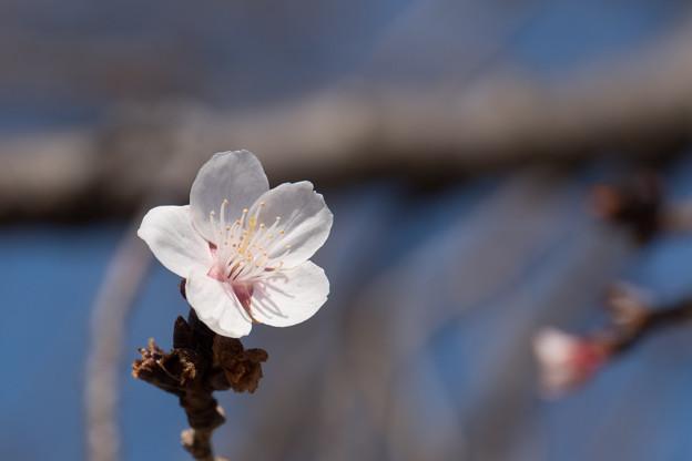皇居東御苑【冬桜】3