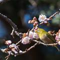 新宿御苑【野鳥:メジロ】2