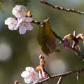 Photos: 新宿御苑【野鳥:メジロ】3