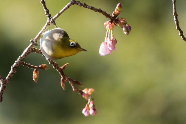 新宿御苑【野鳥:メジロ】4
