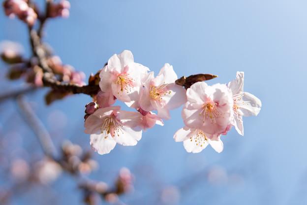 新宿御苑【寒桜】2