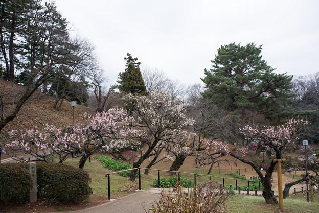 大倉山公園梅林【観梅会の眺め】3