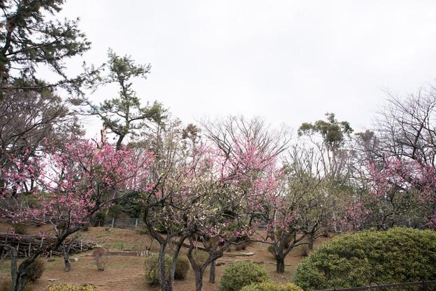 大倉山公園梅林【観梅会の眺め】6
