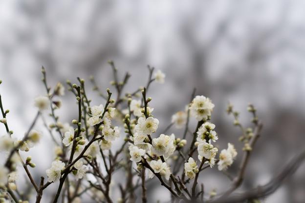 大倉山公園梅林【梅:緑萼梅】2