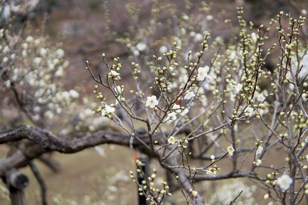 大倉山公園梅林【梅:月影】1