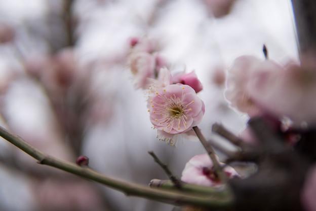 大倉山公園梅林【梅:八重旭】4