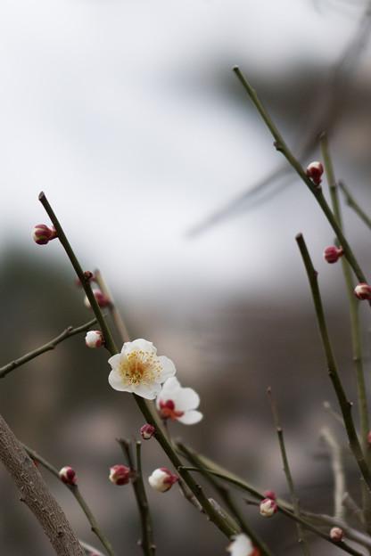 大倉山公園梅林【梅:白加賀】
