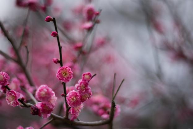 大倉山公園梅林【梅:筑紫紅】
