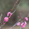 Photos: 大倉山公園梅林【梅:八重寒紅】