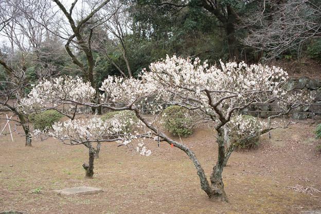 大倉山公園梅林【梅:冬至梅】