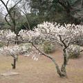 Photos: 大倉山公園梅林【梅:冬至梅】