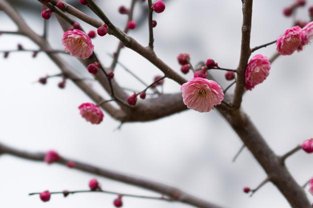大倉山公園梅林【梅:楠玉】