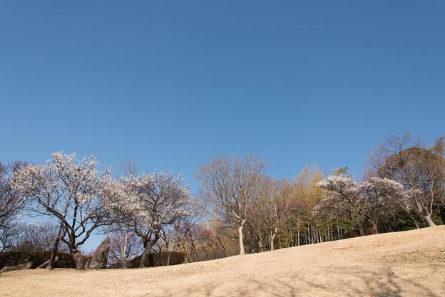 折田不動公園【梅:野梅】1-1