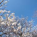 Photos: 折田不動公園【梅:野梅】1-4