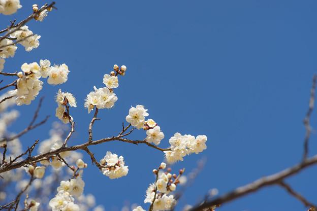 折田不動公園【梅:野梅】2-2