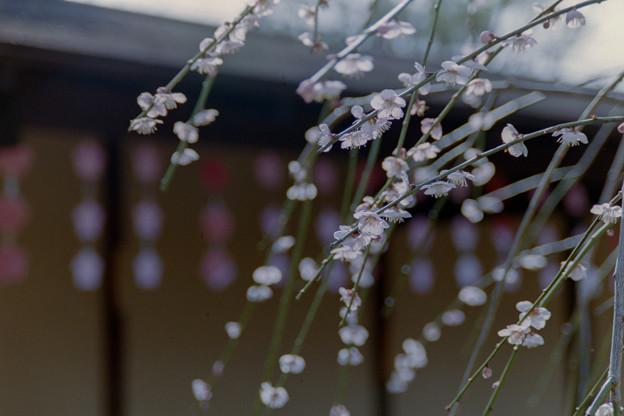 小田原FG【梅:黄門枝垂】銀塩写真