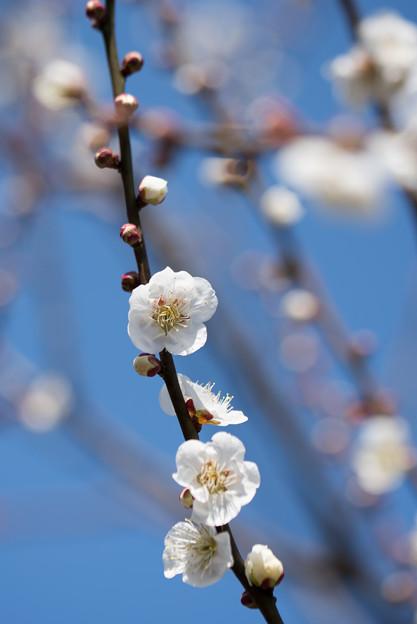 府中市郷土の森梅園【梅:白加賀】10