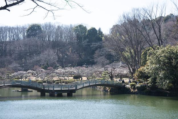 薬師池公園【満開の梅園】1