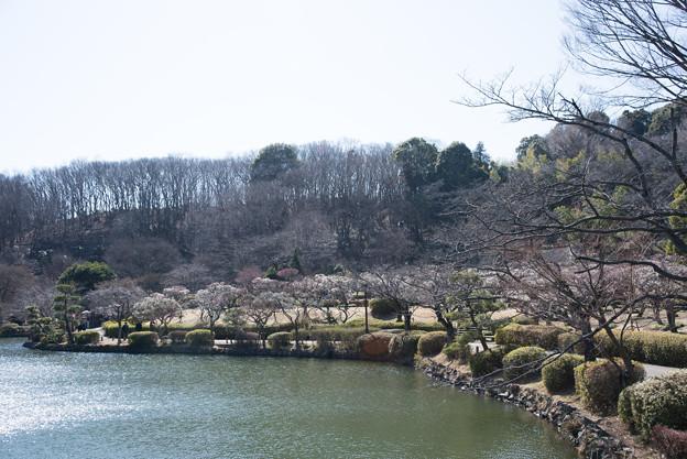 薬師池公園【満開の梅園】3