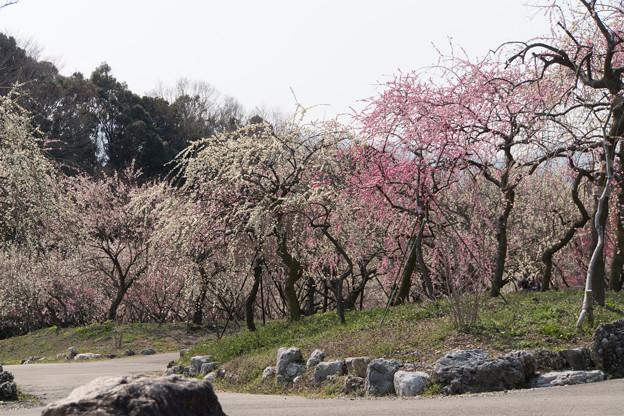 いなべ市梅林公園【満開の梅苑】5